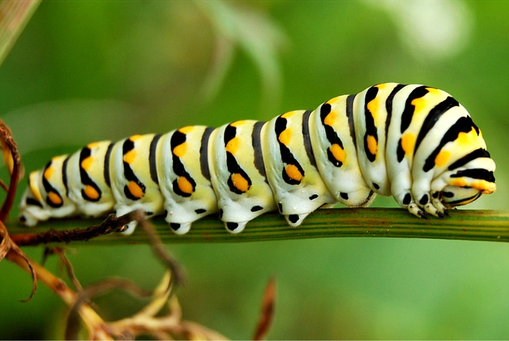 lep_black_swallowtail_caterpillar763